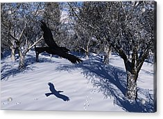 Raven Tracking Acrylic Print by Diana Morningstar