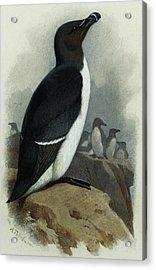 Razorbill Acrylic Print by Archibald Thorburn