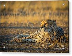 Reclining Cheetah Acrylic Print by Inge Johnsson