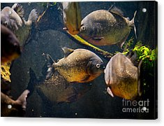 Red Bellied Hungry Piranha Acrylic Print by Arletta Cwalina