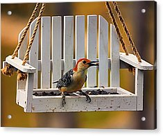 Red Bellied On Swing - 5 Acrylic Print by Bill Tiepelman