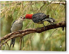 Red Bellied Woodpecker Feeding Young Acrylic Print by Alan Lenk