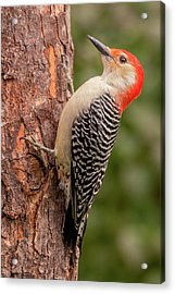 Red Bellied Woodpecker 3 Acrylic Print by Jim Hughes