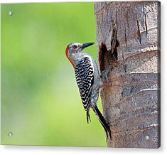 Red-bellied Woodpecker Acrylic Print by Guillermo Armenteros, Dominican Republic.