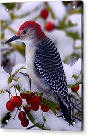Red Bellied Woodpecker Acrylic Print by Ron Jones