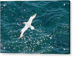 Red Billied Tropic Bird Acrylic Print by Alan Lenk