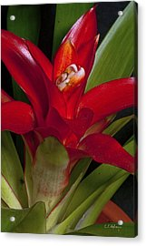 Red Bromiliad Acrylic Print by Christopher Holmes