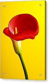 Red Calla Lilly  Acrylic Print by Garry Gay