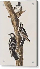 Red-cockaded Woodpecker Acrylic Print by John James Audubon