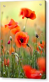 Red Corn Poppy Flowers 06 Acrylic Print by Nailia Schwarz