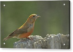 Red Crossbill Acrylic Print by Constance Puttkemery
