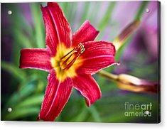 Red Daylily Acrylic Print by Ryan Kelly