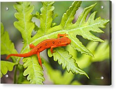 Red Eft Eastern Newt Acrylic Print by Christina Rollo