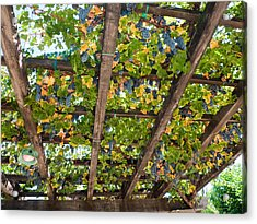 Red Grapes Hanging From A Trellis Napa Valley California Acrylic Print by George Oze