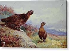 Red Grouse On The Moor, 1917 Acrylic Print by Archibald Thorburn