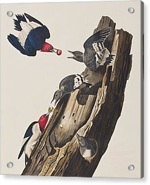 Red Headed Woodpecker Acrylic Print by John James Audubon