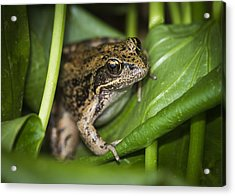 Red-legged Frog  On Plant Acrylic Print by Robert Potts