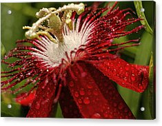 Red Passion Flower With Rain Drops Acrylic Print by Geraldine Scull
