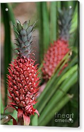 Red Pineapples Acrylic Print by Sabrina L Ryan