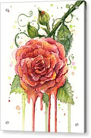 Red Rose Dripping Watercolor  Acrylic Print by Olga Shvartsur