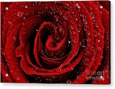 Red Rose Acrylic Print by Mark Johnson