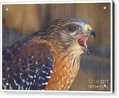 Red Shoulder Hawk Acrylic Print by Deborah Benoit