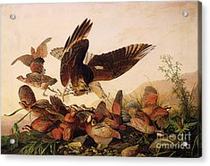 Red Shouldered Hawk Attacking Bobwhite Partridge Acrylic Print by John James Audubon