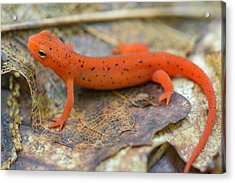 Red Spotted Newt  Acrylic Print by Derek Thornton