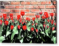 Red Spring Tulips 2 Acrylic Print by Angelina Vick