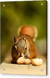 Red Squirrel   Acrylic Print by Cale Best