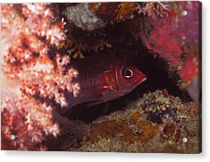 Red Squirrelfish Hiding Under Reef Acrylic Print by James Forte
