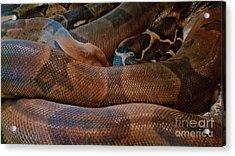 Red-tail Boa Acrylic Print by Liane Wright