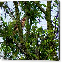 Red Tail Hawk Acrylic Print by Matt Steffen
