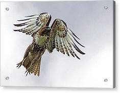 Red Tail Takeoff Acrylic Print by Randall Ingalls