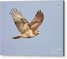 Red Tailed Hawk 20100101-1 Acrylic Print by Wingsdomain Art and Photography