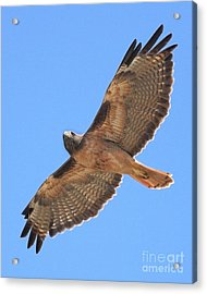 Red Tailed Hawk In Flight Acrylic Print by Wingsdomain Art and Photography
