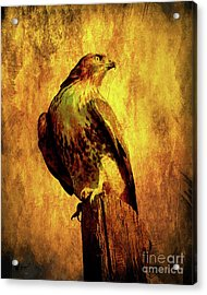 Red Tailed Hawk . Texture . 40d10167 Acrylic Print by Wingsdomain Art and Photography