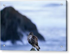 Red-tailed Hawk - Westport Union Landing State Beach Acrylic Print by Soli Deo Gloria Wilderness And Wildlife Photography
