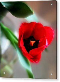 Red Tulip Acrylic Print by Cathie Tyler
