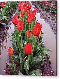 Red Tulip Row Acrylic Print by Kami McKeon