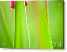 Red Tulip Acrylic Print by Silke Magino