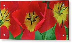 Red Tulip Trio Acrylic Print by Ben and Raisa Gertsberg