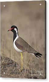 Red-wattled Lapwing Acrylic Print by Bernd Rohrschneider/FLPA