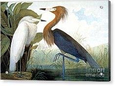 Reddish Egret, Acrylic Print by Granger