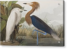 Reddish Egret Acrylic Print by John James Audubon