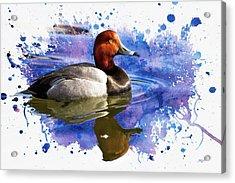 Redhead Drake Acrylic Print by John Williams