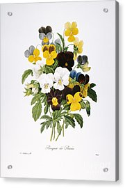 Redoute: Pansy, 1833 Acrylic Print by Granger