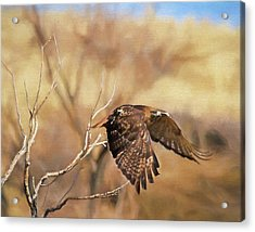 Redtail On The Move Acrylic Print by Donna Kennedy