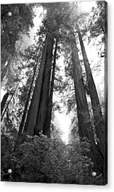 Redwoods In The Fog Acrylic Print by Loree Johnson
