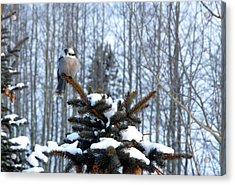 Refined Little Gray Jay In Colorado Acrylic Print by Carol M Highsmith
